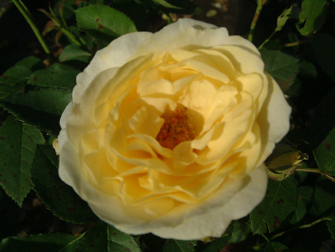 Rose Golden Border
