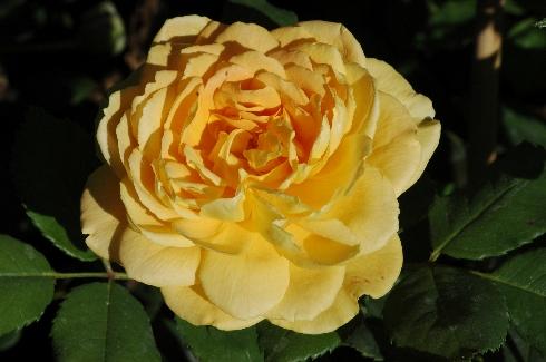 Golden Celebration - Englische Rosen