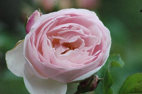 Heritage - Englische Rosen