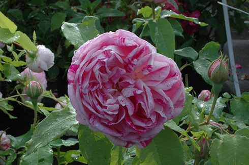 Rose Honorine de Brabant