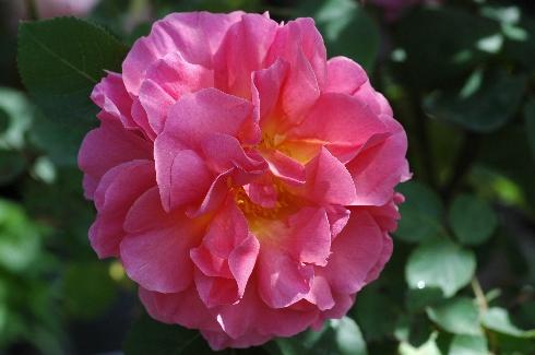Lilian Austin - Englische Rosen