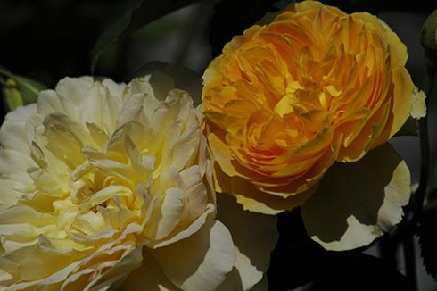 Molineux - Englische Rosen