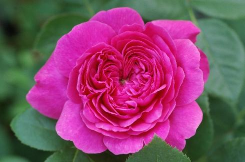 Noble Anthony - Englische Rosen