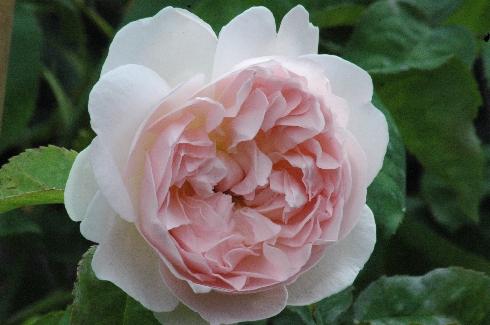 Sharifa Asma - Englische Rosen