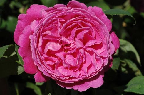 Sir Edward Elgar - Englische Rosen