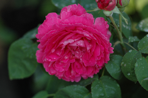 Rose Sir Edward Elgar