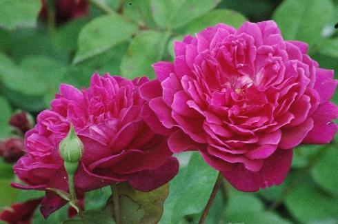 sophy 39 s rose englische rosen. Black Bedroom Furniture Sets. Home Design Ideas