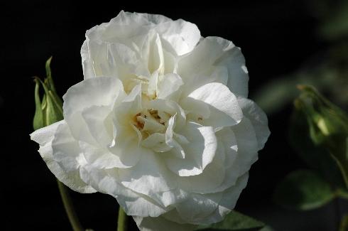 Kronprinzessin Viktoria - Rosa Borbonica