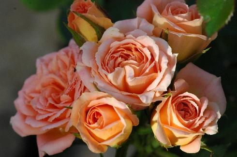 Sweet Dream - Englische Rosen