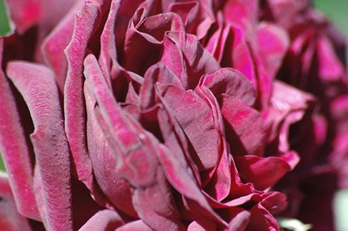 Tradescant - Englische Rosen