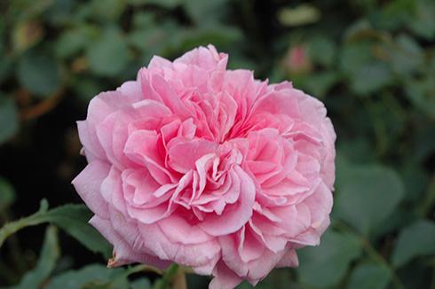 Warwick Castle - Englische Rosen