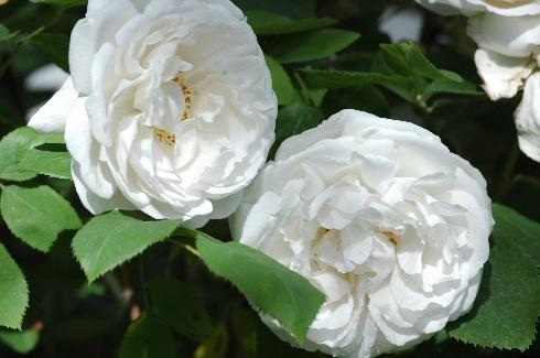 Winchester Cathedral - Englische Rosen