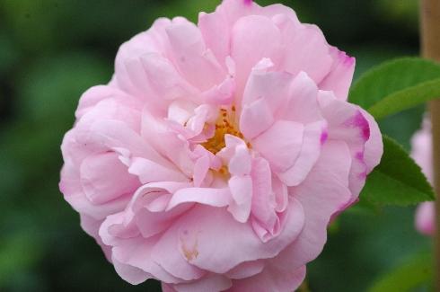 Belle Amour - Rosa Alba