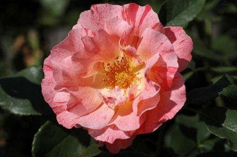 Grimaldi - Rosen von Delbard