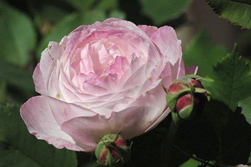Mme. Pierre Oger - Rosa Borbonica