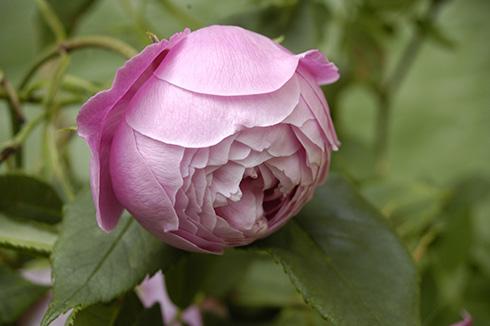 rose 39 reine viktoria 39 rosen bei schmid gartenpflanzen online kaufen. Black Bedroom Furniture Sets. Home Design Ideas