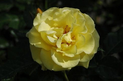 Rose Lichtkönigin Lucia