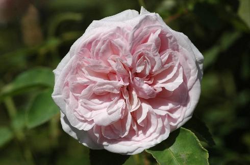 Souvenir de la Malmaison - Rosa Borbonica