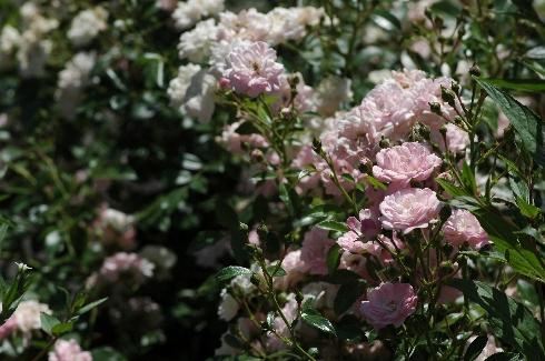 rose 39 the fairy 39 rosen bei schmid gartenpflanzen online kaufen. Black Bedroom Furniture Sets. Home Design Ideas