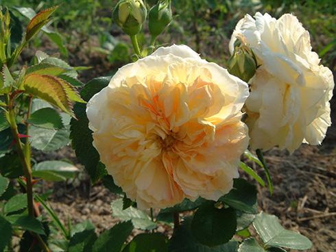 Yellow Button - Englische Rosen