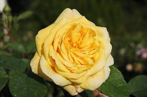 AUSling - Englische Rosen