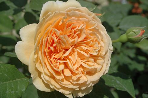 crown princess margareta bilder und erfahrungen zur rose bei schmid gartenpflanzen. Black Bedroom Furniture Sets. Home Design Ideas