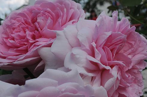 AUSwife - Englische Rosen