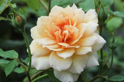 Grace - Englische Rosen
