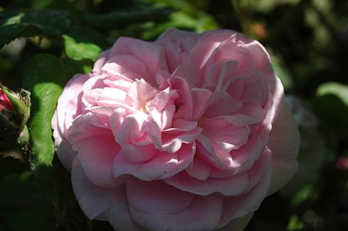 Fantin Latour - Rosa Centifolia
