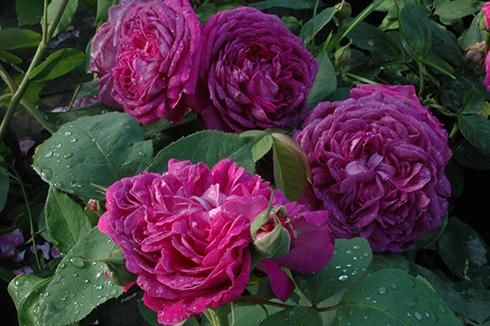 Reine de Violettes - dunkle Variante - Remontant Rosen