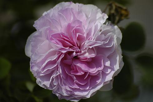 Blush Hip - Rosa Alba