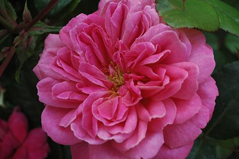 Dan Poncet - Rosa Generosa von Guillot