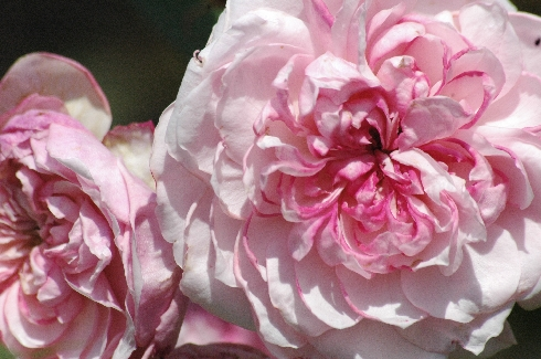 Orsola Spinola - Rosa Generosa von Guillot