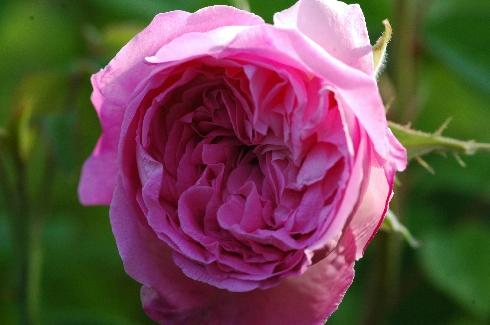 Tour de Malakoff - Rosa Centifolia