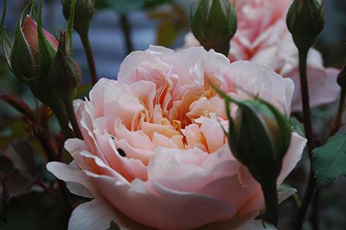 Versigny - Rosa Generosa von Guillot