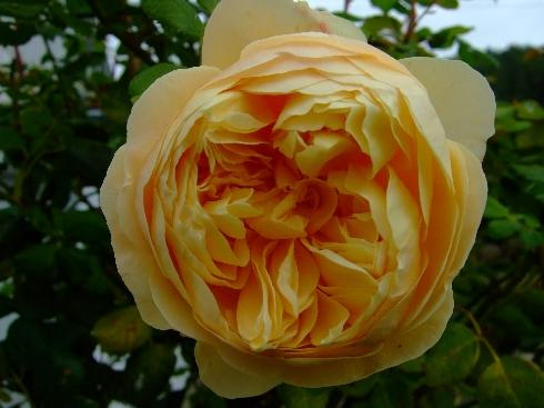 rose 39 charles darwin 39 rosen bei schmid gartenpflanzen online kaufen. Black Bedroom Furniture Sets. Home Design Ideas