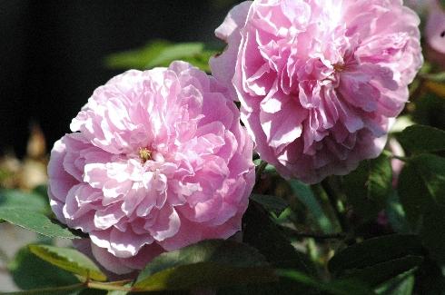 Harlow Carr - Englische Rosen
