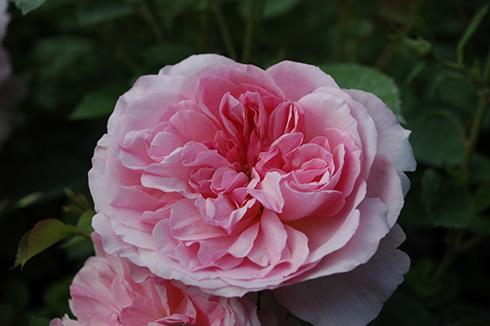 Hyde Hall - Englische Rosen