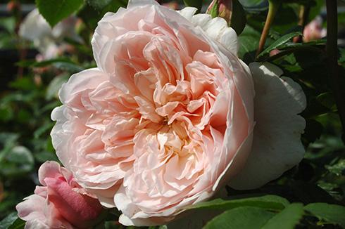 Wildeve - Englische Rosen
