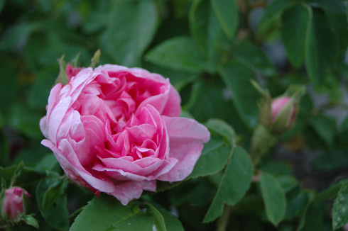 Typ Kassel - Rosa Centifolia