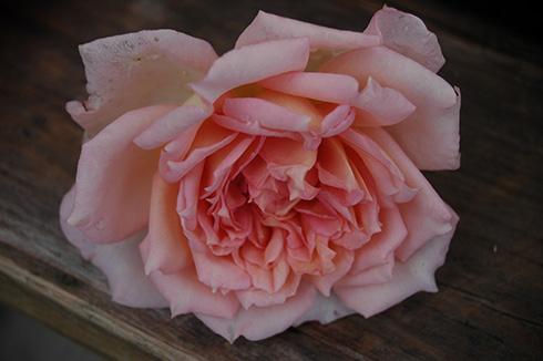 Janet - Englische Rosen