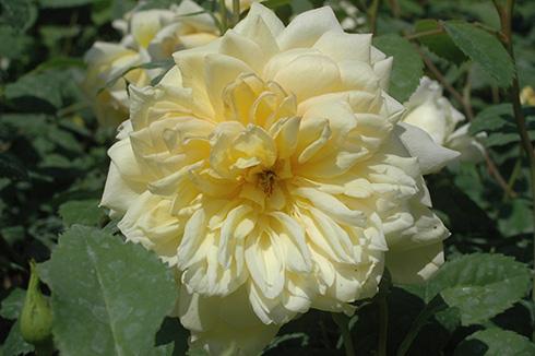 St. Alban - Englische Rosen
