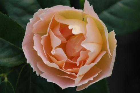 Coniston (Comtes de Champagne) - Englische Rosen