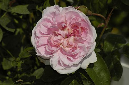 Cottage Rose - Englische Rosen