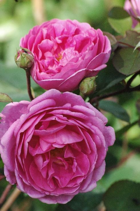 John Clare - Englische Rosen
