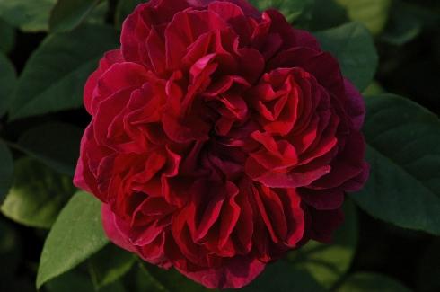 The Dark Lady - Englische Rosen
