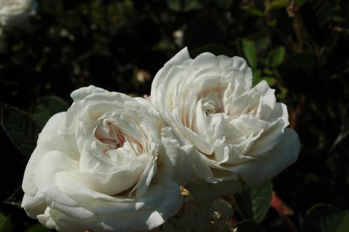 Blanche Moreau - Rosa Centifolia Muscosa