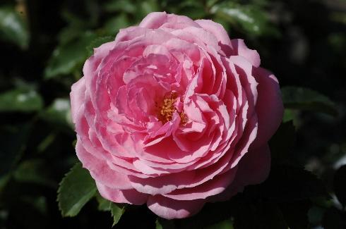 Schöne Elise - Rosen von Weihrauch