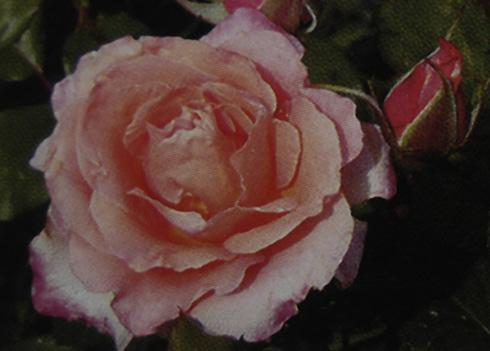 Mme. Rosalia - Rosen von Weihrauch