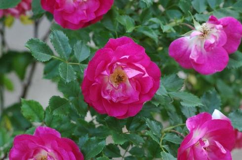 Therese - Rosen von Weihrauch